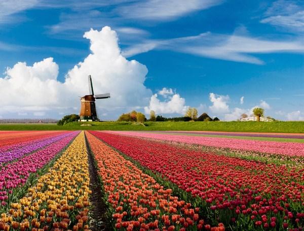 Hà Lan là đất nước của hoa tulip và cối xay gió