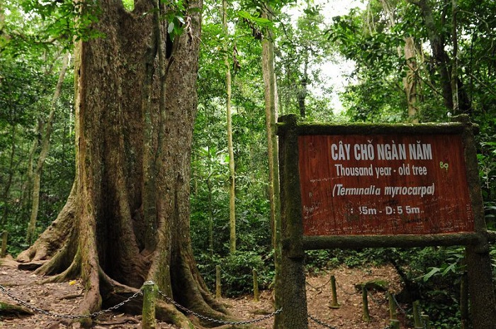 A thousand-year-old arcade tree in Cuc Phuong National Park