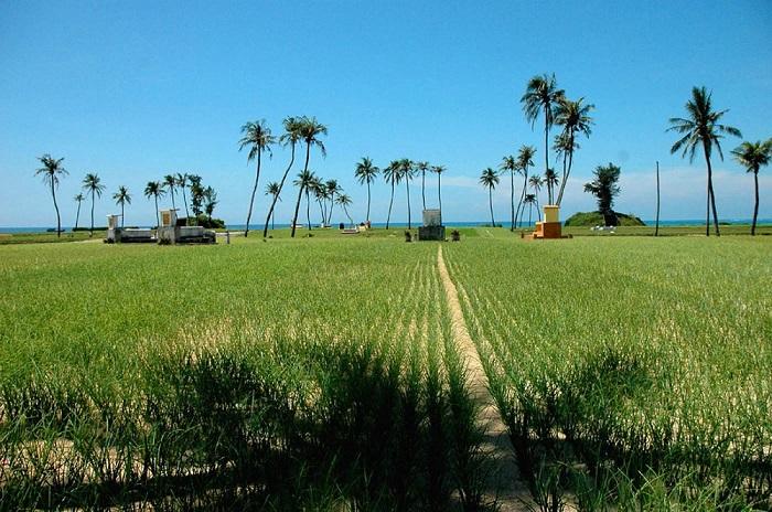 Những cánh đồng tỏi rộng bao la trên đảo Lý Sơn
