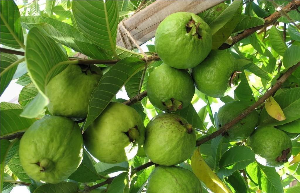 Guava Dak Glong