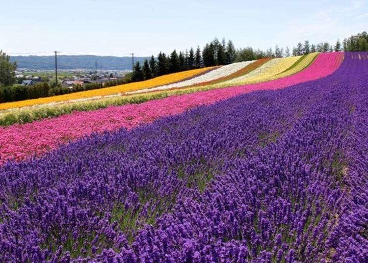 Thị trấn Furano với những cánh đồng hoa oải hương rực rỡ
